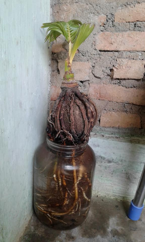 Cara Top Membuat Bonsai Kelapa Media Air Hydro Coco