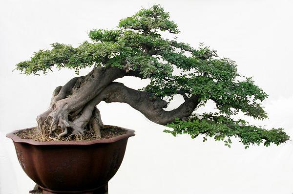 17 Jenis Seni Dan Gaya Bonsai Style Bonsai Bennisobekti Com