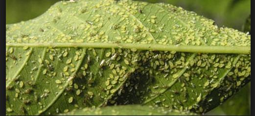 Tehnik Membersihkan Hama & Penyakit Pada Tanaman Bonsai