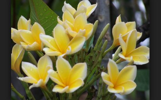 Kegunaan Bunga Kamboja Kuburan Untuk Kesehatan