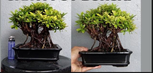 Membuat Bonsai Asoka & 5 Khasiatnya Bagi Tubuh