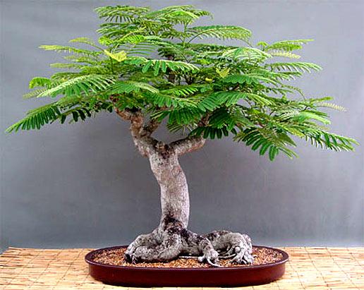 Cara Membuat Bonsai Flamboyant Tree Yang Paling Mudah