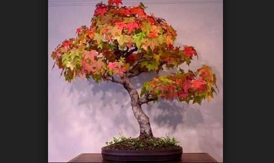 Mengenal Jenis Tanaman Maple Acer Rubrum Buat Bonsai