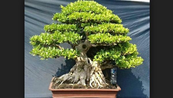 Harga Bonsai Kimeng Ficus Microcarpa Cara Membuatnya
