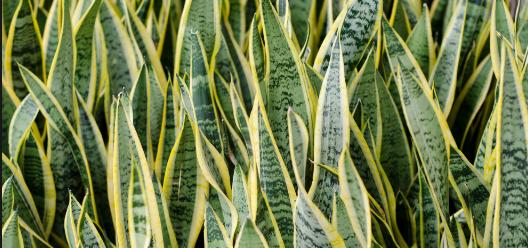 Cara Tanam Bunga Sansevieria ( Lidah Mertua) Paling Praktis