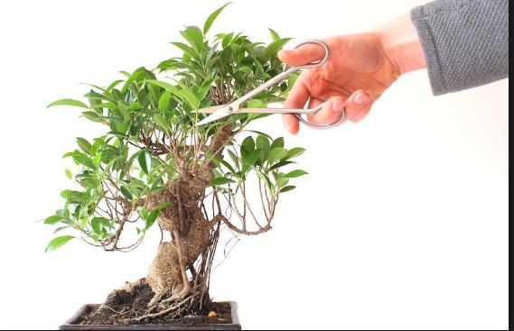 Cara Pengerdilan Bonsai Beringin Yang Paling Simpel