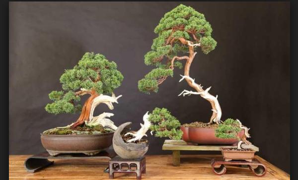 Bonsai Gaya Slanting Indah & Mempesona
