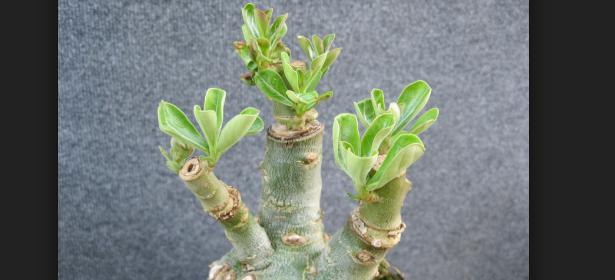 Cara Setek Bunga Adenium Bonsai Cepat Menumbuhkan Tunas Baru Pada Batang