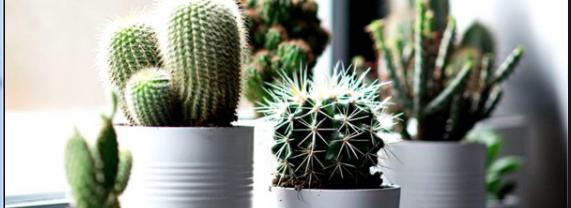 Klasifikasi Tanaman Kaktus Berduri Tapi Bagus Untuk Hiasan