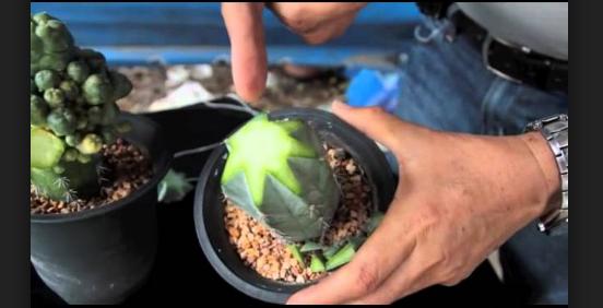 Stek Tanaman Hias Kaktus Yang Menawan Untuk Dilewatkan