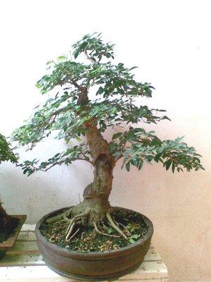 5 Jenis Tanaman Yang Bagus Dijadikan Pohon Bonsai Unik