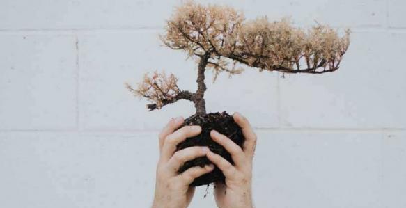 Cara Merawat Pohon Bonsai Juniper Yang Sakit & Sekarat Super Mudah
