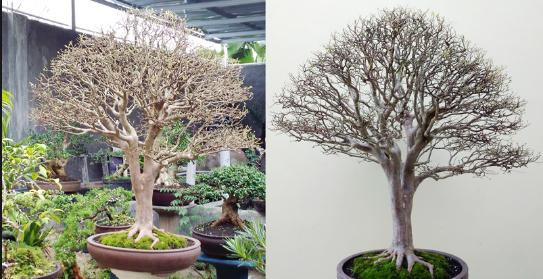 Pohon Bonsai Juniper: Cara Merawatnya Saat Sakit Dengan Mudah
