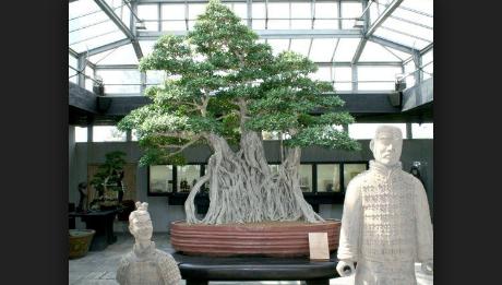 Cara Membuat Pohon Bonsai Segar Kembali Dengan Mudah