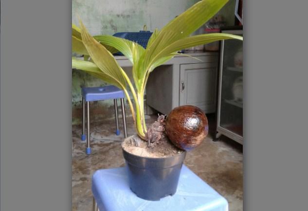 Bonsai Kelapa Tips Dan Trik Untuk Anda Pemilik Cobon Atau Bonkla