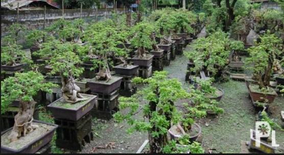 Pameran Bonsai: Ulasan Kegiatan Dari Berbagai Daerah & Kota