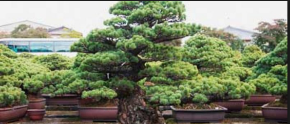 Cara Membuat Style Bonsai Pinus Stampede Ponderosa Super Mudah