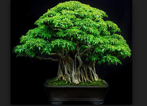 Pohon Bonsai : Semuanya Tentang Bonsai Tanaman Hias