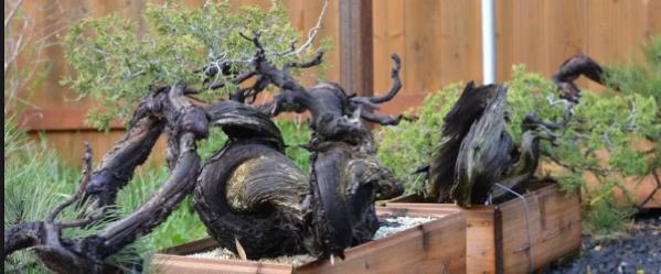 Teknik Decandling Bonsai Pinus Hitam Paling Mudah