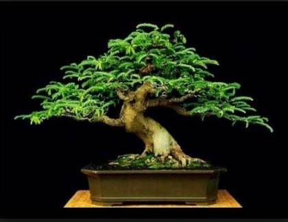 Pohon Bonsai Indah Dan Unik Di Dunia Yang Paling Mempesona