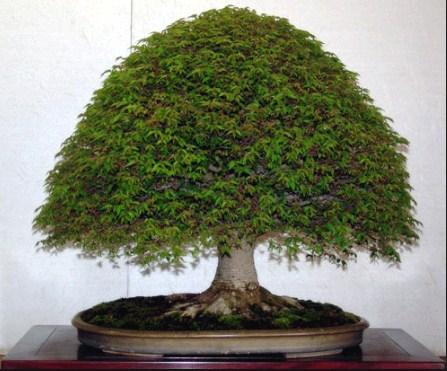 Gaya Sapu Bonsai: Bonsai (Hokidachi) Broom Style Yang Perlu Kita Ketahui
