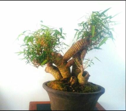 Jenis Pohon Bambu Hias Terkenal Untuk Bonsai & Taman Di Indonesia
