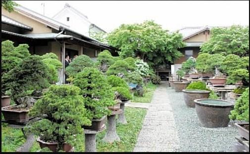 Master Bonsai: Mengenang Mr.Iwasaki Sang Master Dengan Komitmen Kesuksesan Yang Berharga