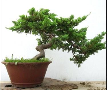 Bonsai Pohon Cypress: Cara Mudah Untuk Merawat Pohon Cypress Bald Cypress