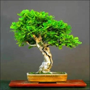 Pohon Quercus SP Atau Pohon Ek bonsai: Mengenal Untuk Membuat & Merawatnya