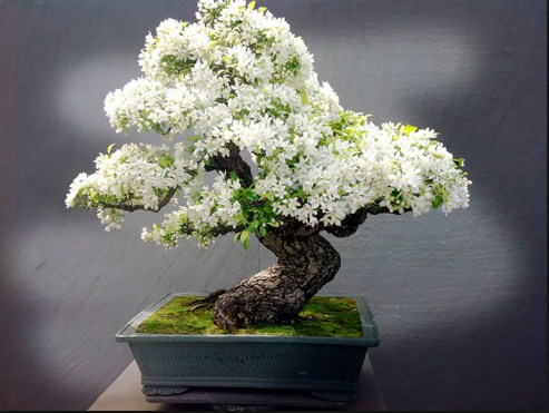 Budidaya Bonsai Melati