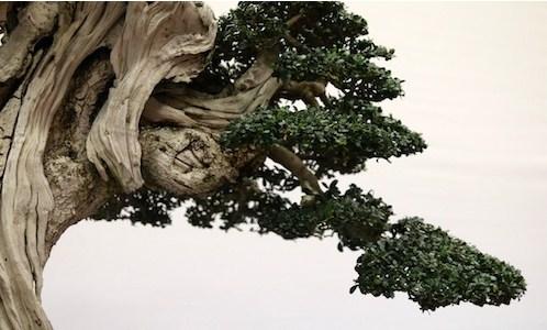 Top 10: Pohon Bonsai Terbesar & Seni Kuno Yang Mempesona