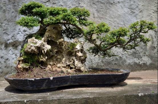 Pohon Bonsai Terlatih Untuk Kesehatan Bonsai Yang Lama