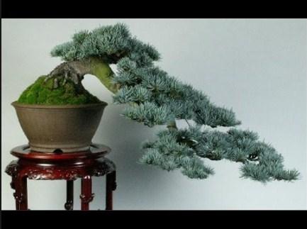Bonsai Cedar: Cara Membuat & Merawat Bonsai Dengan Cara Paling Simpel & Mudah
