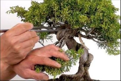 Bonsai Defoliasi: Cara Mudah Memangkas Daun Untuk Memicu Pertumbuhan Baru