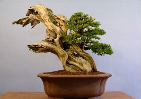 Bonsai Deadwood: Teknik Bonsai Kayu Mati Sering Diterapkan Oleh Sang Master Bonsai