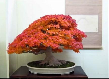 Bonsai Maple Jepang: Cara Mudah Merawatan Bonsai Maple Jepang Bagi Pemula
