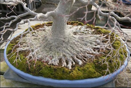 Akar Bonsai (Nebari): Merawat Akar Permukaan Pohon Bonsai Paling Simpel