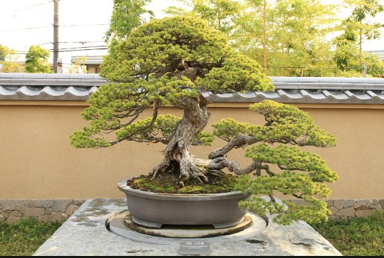 Bonsai Outdoor: Cara Perawatan Khusus Untuk Bonsai Luar Ruangan Super Mudah