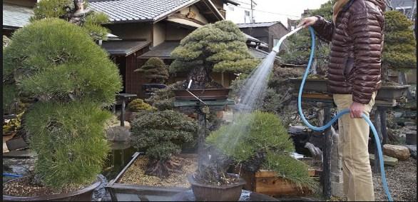 Cara Mudah Penyiraman Pohon Bonsai Yang Baik Untuk Pemula