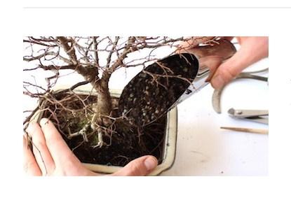 Repotting Bonsai: Cara Mudah Menjaga Akar Bonsai Di Pot Untuk Tumbuh Sehat