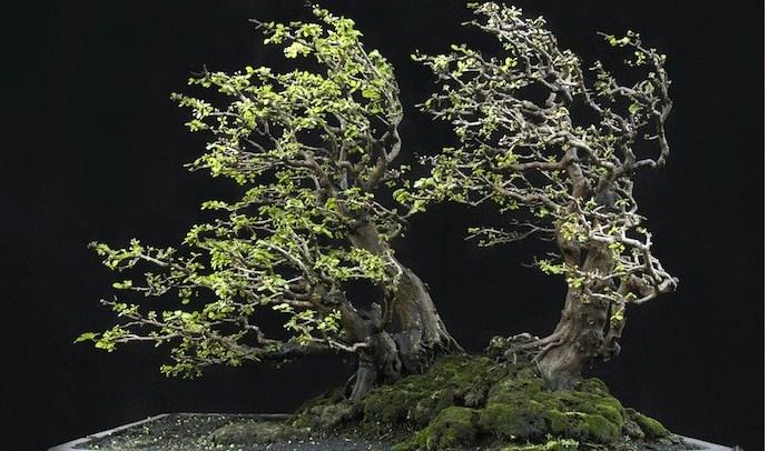 Bonsai Robert Steven: Mengenal Lebih Dekat Cerita Dan Pengalaman Bonsai Sang Master
