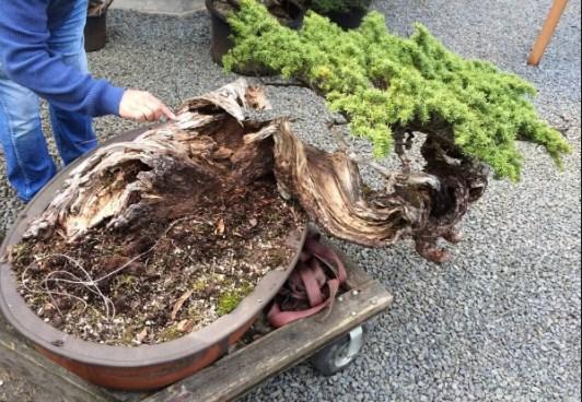 Yamadori: Koleksi Pohon Bonsai & Cara Mudah Menggali Pohon Dari Hutan