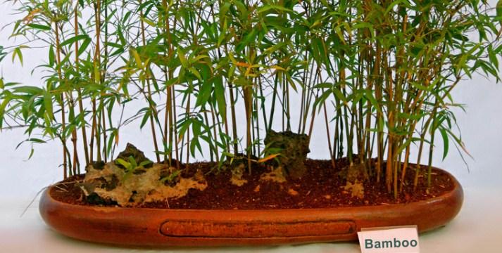 Cara Mudah Merawat Bamboo Indoors Untuk Diletakkan Pada Tempat Terbaik