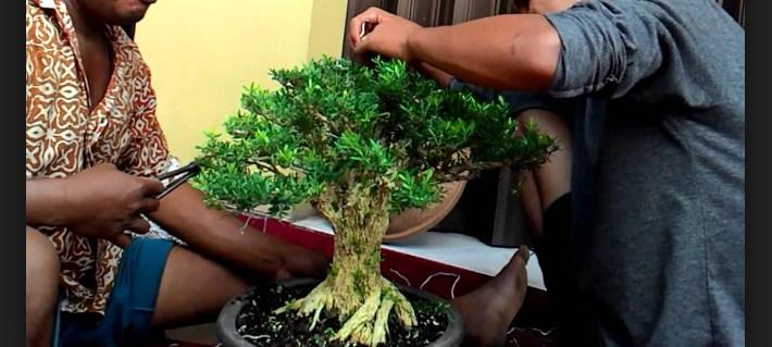 Cara Merawat Bonsai Buxus Paling Simpel Dan Mudah