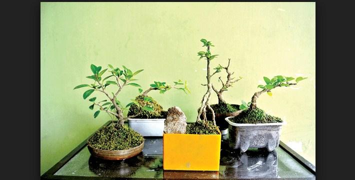 Cara Merawat Pohon Bonsai Dalam Ruangan Yang Bisa Untuk Kita Miliki