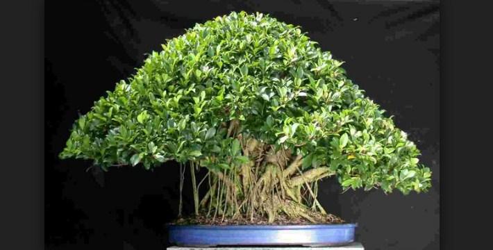 Bonsai Ficus (Retusa): Cara Merawat Pohon Bonsai Ficus Paling Simpel