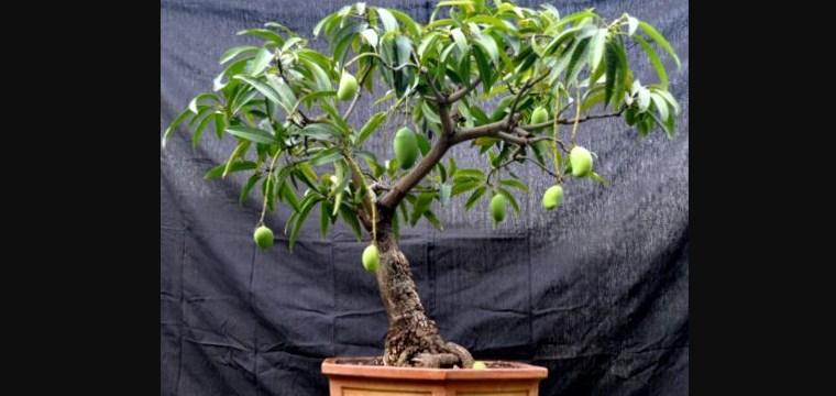 Bonsai Pohon Mangga: Cara Mudah Membuat Serta Merawat Bonsai Pohon Mangga