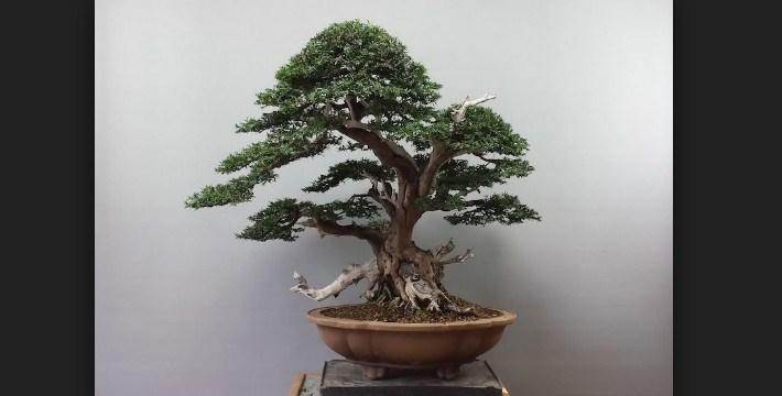 Bonsai Yew (Taxus, Taxaceae): Proses Perawatan Bonsai Super Mudah Dan Praktis