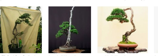 Gaya Bonsai Bunjingi Yang Mempesona & Jenis Pohon Untuk Dibuat