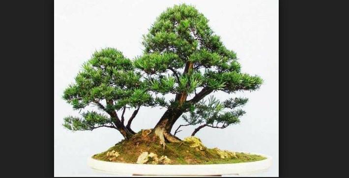 Bonsai Holly Jepang (Ilex crenata): Cara Paling Simpel Membuat & Merawat Bonsai holly Jepang